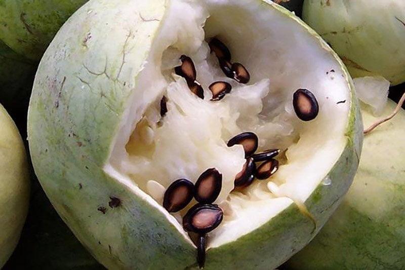 專門用來產西瓜子的籽瓜,也被稱為「打瓜」