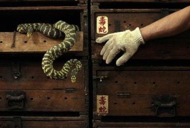 香港一家百年蛇店飼養的毒蛇