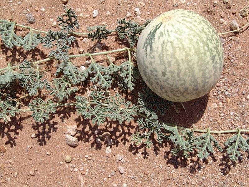 在非洲沙漠生長的野生西瓜